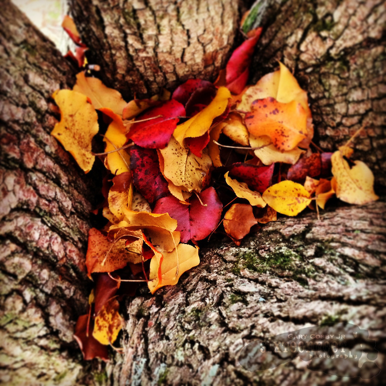 Gary Cosby Jr.  iPhone photographs  Leaves gather in a crotch in a tree during the fall.