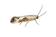 22.002 (0449)<br /> Ash Bud Moth - Prays fraxinella