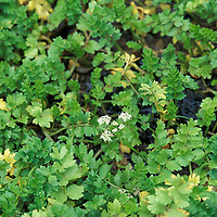 Creeping marshwort Apium repens UK