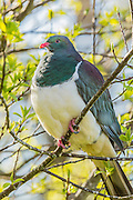 New Zealand Wood Pigeon, New Zealand