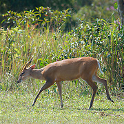 Male Red (or common) Muntjac Deer, Muntiacus muntjac, also known as a barking deer in Khao Yai, Thailand.