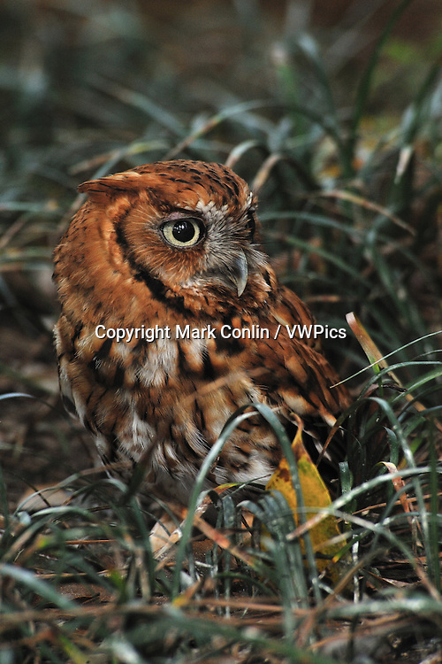 Eastern screech owl, Megascops asio, Florida, captive