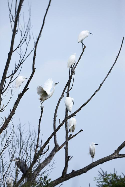 A group pf little egret (Egretta garzetta) resting. Poganovo polje. Lonjsko Polje Nature Park. Ramsar Site. Sisack-Moslavina county. Slavonia region. Posavina area. June 2009. Croatia.<br /> Elio della Ferrera / Wild Wonders of Europe