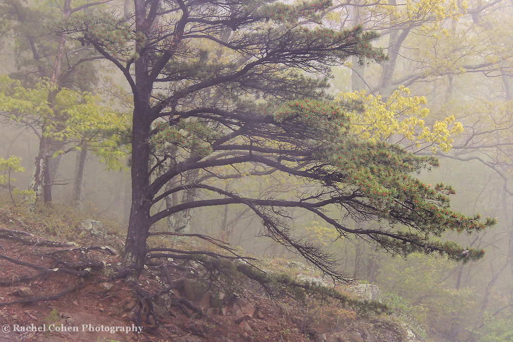 &quot;Pine Tree in Fog&quot;<br />