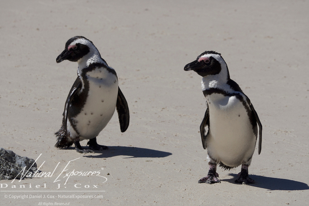African penguins on the beach at the Boulders Penguin Colony, Table Mountain National Park, South Africa.
