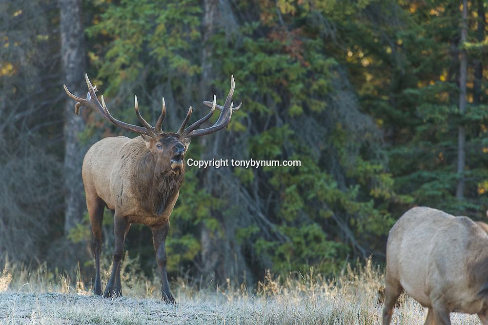 bull and cow elk bull bugling in meadow