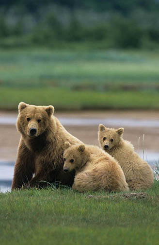 Alaskan Brown Bear, (Ursus middendorffi) Mother and two cubs. Alaskan Peninsula.