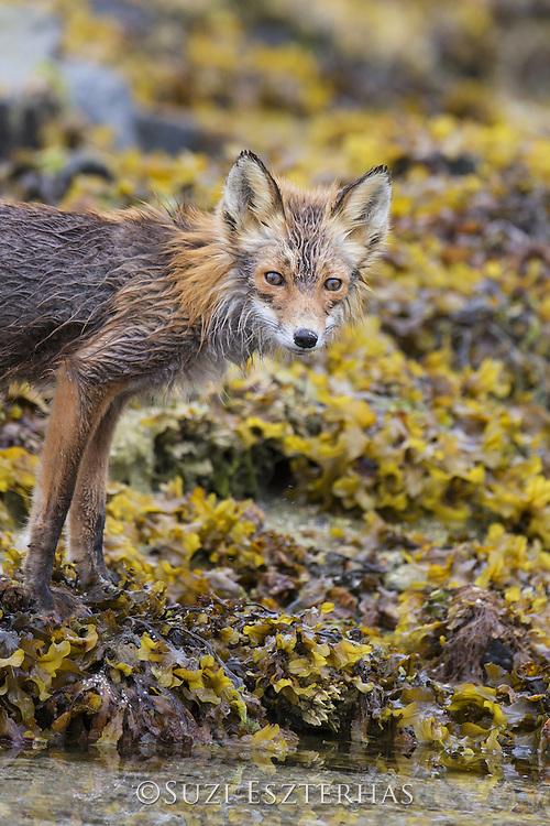 Red Fox<br /> Vulpes vulpes<br /> Katmai National Park, Alaska
