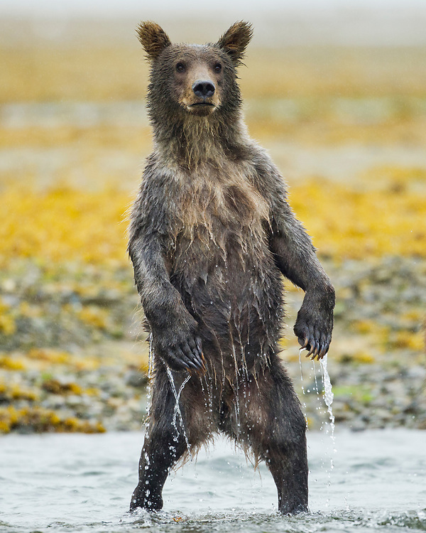 USA, Alaska, Katmai National Park, Grizzly Bear yearling cub (Ursus arctos) stands in alarm while fishing in salmon spawning stream near Geographic Harbor