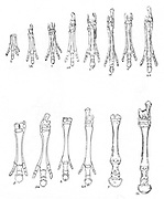 Evolution of the horse: Diagram of 7 stages in development of hind and forelimbs from 1,1A Eohippus; 2,2A Orohippus; 3,3A Mesohippus,; 4,4A Hypohippus; 5,5A Merychippus; 6,6A Hipparion; 7,7A modern horse. Toes shorten and disappear. After Marsh and Lull.  Engraving c1930.