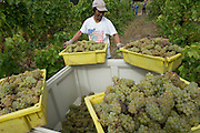 Harvesting Chardonnay, Celilo vineyard, Columbia River Gorge