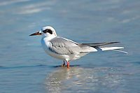 A Forster's tern in winter plumage on Fernandina Beach, Florida.