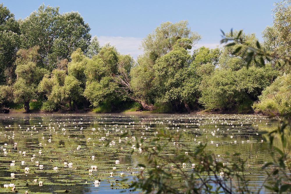 Backwater of Latorica River with water Lilies, , Nymphaea alba, East-Slovakia, europe, Latorica Altwasser mit Seerosen, Nymphaea alba, Slowakei, Europa