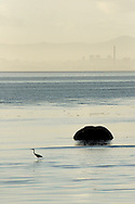 Grey Heron at Tagus river, with the industrial area of Barreiro on the background.
