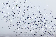 A large flock of birds fly through the sky on a foggy winter afternoon in Wawayanda, New York.