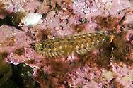 Scaleworm (Eunoe nodosa). Location : Lysefjorden, Norway