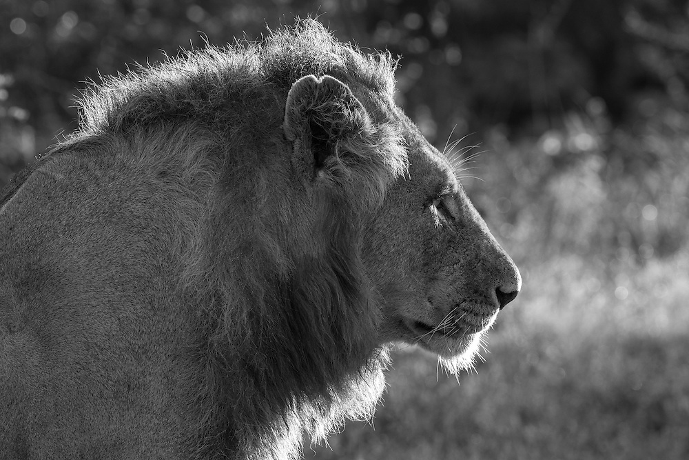 Sabi Sands lion backlite by early morning sun.