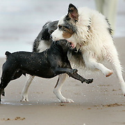 South Padre Island, TX / 2006 - Roxy, an Australian Shepherd, appears to be in the process of beheading Oscar the schnauzer on South Padre Island beach June 1, 2006. In reality, the dogs were playing while chasing each other in and out of the ocean. Photo By Mike Roy / The Monitor