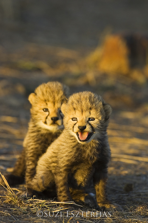 Cheetah<br /> Acinonyx jubatus<br /> 18 day old cubs at sunrise<br /> Maasai Mara Reserve, Kenya