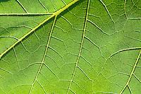 Closeup of a backlit leaf.