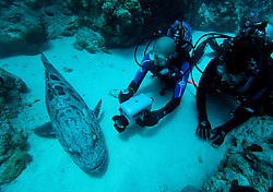 "Two scuba divers are visited by ""Cuddles"", a large and friendly Potato Cod at Cod Hole.  The Potato cod (Epinephalus tukula) is a protected species."