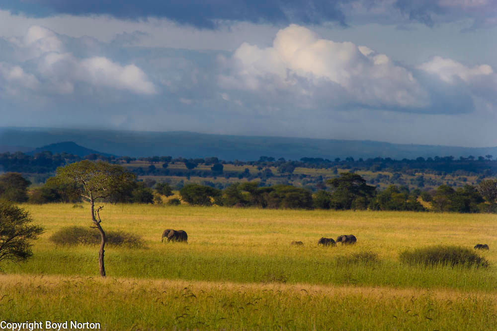 Elephants roam across the savanna grasslands of Tarangire National Park in Tanzania.