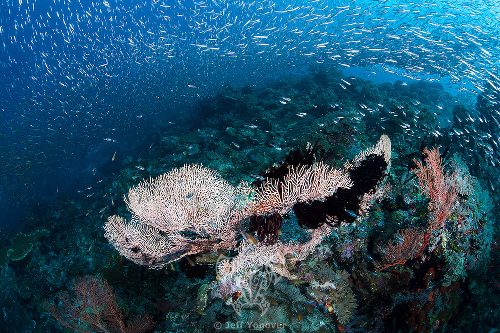Thriving Reef Slope swarmed with Baitfish<br /> <br /> Shot in Indonesia
