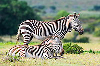 Resting Cape Mountain Zebras, De Hoop Nature Reserve, Western Cape, South Africa
