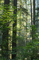 Trees in Redwoods National Park Northern California Coast USA.