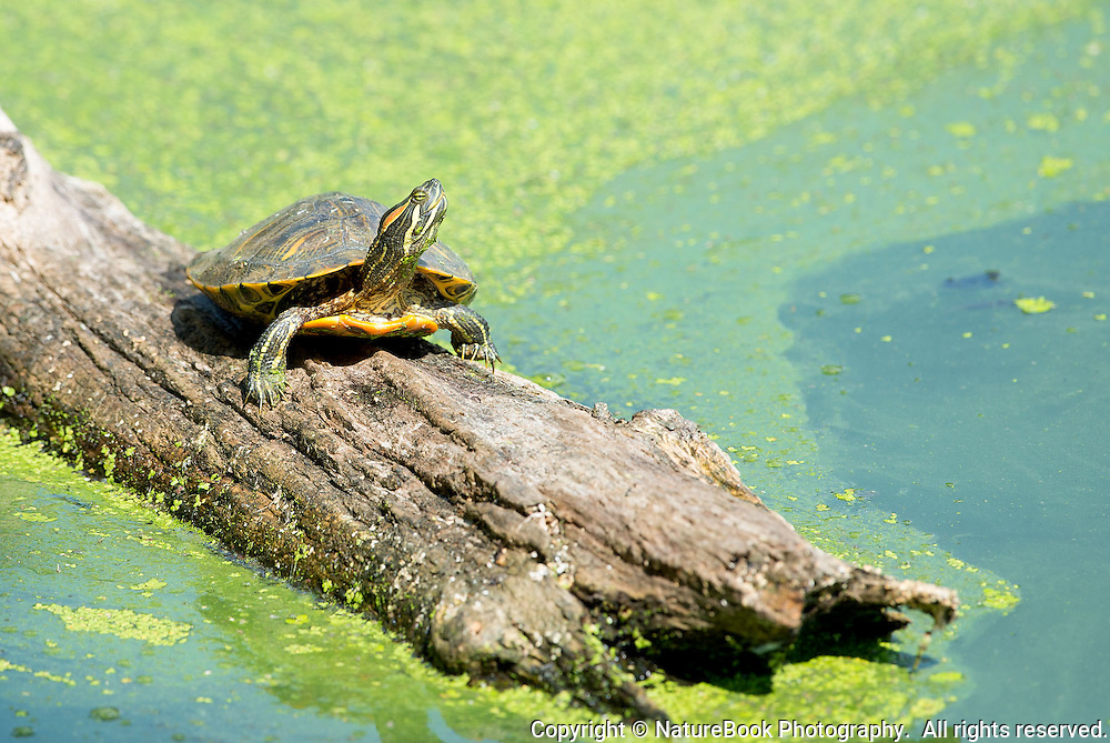 A mature turtle enjoys the sunshine as he perches on a log at Radnor Lake State Natural Area, just south of Nashville, Tennessee.