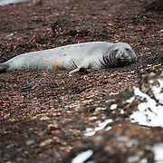 A Southern Elephant seal lounges on the beach amidst the kelp and seaweed on Livingston Island, South Shetland Islands, Antarctica.