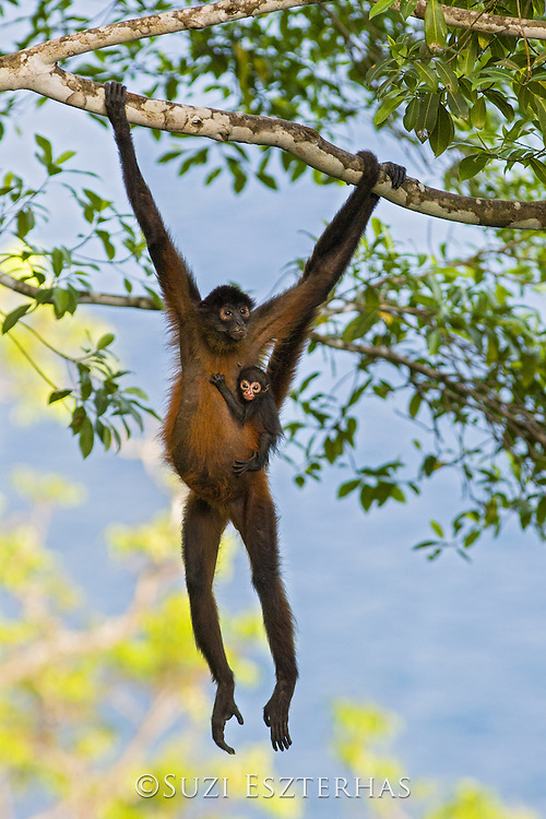 Black-handed Spider Monkey<br /> Ateles geoffroyi<br /> Mother and infant<br /> Osa Peninsula, Costa Rica
