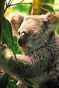 Image of a koala bear at Lone Pine Koala Sanctuary, Brisbane, Australia