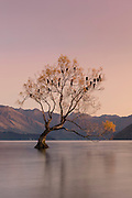 A soft pink sunrise over the lone willow tree at Lake Wanaka, New Zealand