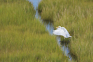 An egret hops over a channel in the salt marsh - Ocean City, Maryland