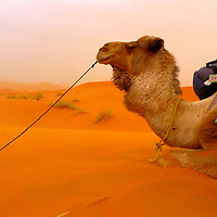 Camel resting during a sand storm