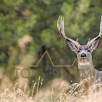 muledeer buck in pine forest curious, looking