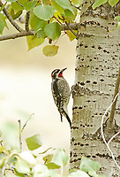A male Red Naped Sapsucker drills holes in an aspen tree so it can drink the sap out of the hole.
