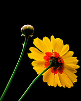 Plains Coreopsis Flower. Image taken with a Fuji X-T3 camera and 80 mm f/2.8 macro lens (ISO 800, 80 mm, f/16, 1/60 sec).