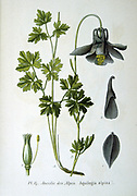 Alpine columbine (Aquilegia alpina)a plant native to the Swiss Alps and the Northern Appenines.  From Amedee Masclef 'Atlas des Plantes de France', Paris, 1893.