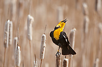 Yellow Headed Blackbird sings in a northern Utah marsh.