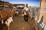 30 OCTOBER 2010 - PHOENIX, AZ: IBRAHIM SWARA-DAHAB selects a goat for slaughter at the Goat Meat Store, owned by Ibrahim Swara-Dahab, in Phoenix, AZ. Swara-Dahab came to the United States from Somalia in 1998. He has built a thriving business as a Halal butcher and provides freshly butchered goats and sheep killed following the precepts of Muslim tradition. His business not only caters to Muslims in the Phoenix area but also to refugees and immigrants from Africa and Asia. His small butcher shop is on the Gila River Indian Reservation, about 100 yards from the Phoenix city limits and doesn't have either running water or electricity.    Photo by Jack Kurtz
