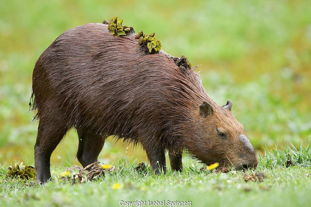 Capybara (Hydrochoerus hydrochaeris),Araras Echo Lodge,Mato Grosso,Sao Paulo,Brazil, (Photographer: Isobel Springett),