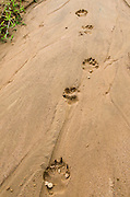 Spotted hyaena tracks (Crocuta crocuta)<br /> Mboko to Lango road<br /> Odzala - Kokoua National Park<br /> Republic of Congo (Congo - Brazzaville)<br /> AFRICA