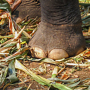 Elephant Toes by Koi