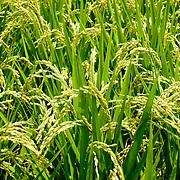 Rice field, Meinong Township, Kaohsiung County, Taiwan