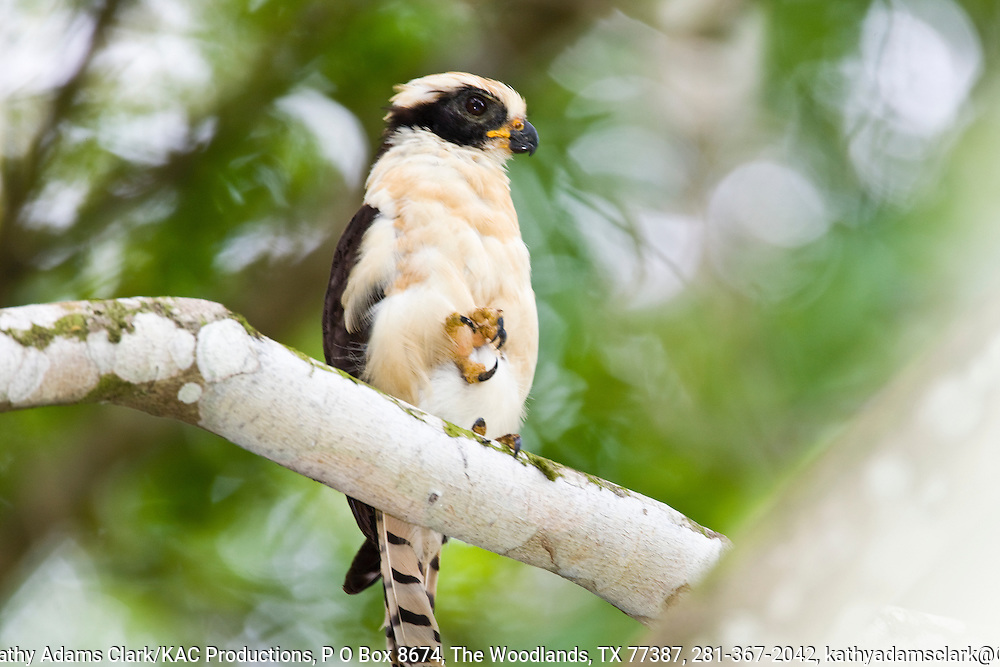 Laughing falcon, perched on a limb with foot up, Osa Peninsula, southern Costa Rica on the Pacific coast.