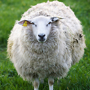 Nederland Barendrecht 5 april 2009 20090405 Foto: David Rozing ..schaap met dikke vacht in de wei, lente, lenteweer.sheep  in field in springtime..Foto: David Rozing