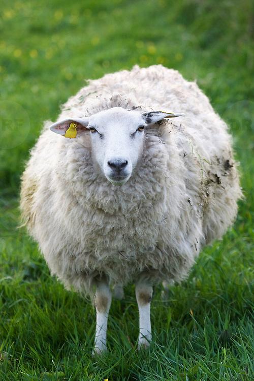 Nederland Barendrecht 5 april 2009 20090405 Foto: David Rozing ..schaap met dikke vacht in de wei, lente, lenteweer.sheep  in field in springtime..Foto: David Rozing