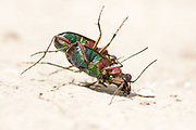 Green tiger beetles (Cicindela campestris) wrestling after mating. Surrey, UK.